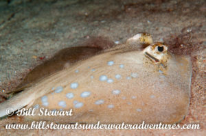 Blue-spotted Ray photographed during a night dive on Sabang Wrecks, Puerto Galera, Philippines.